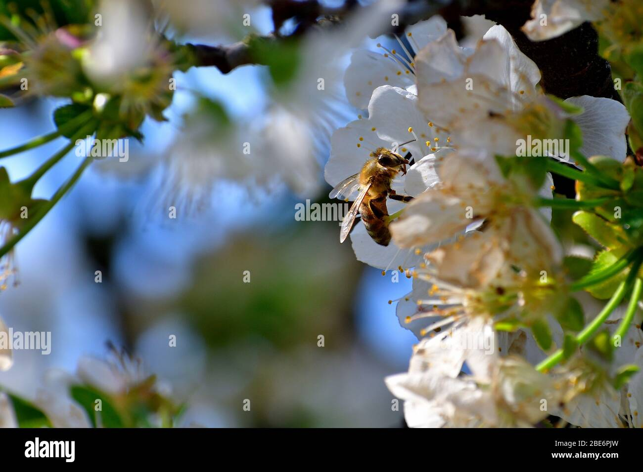 Imagen de una abeja que recoge polen de las flores de cerezo. La posición de la flor en una esquina da la posibilidad de crear postal y mensajería de vida Foto de stock