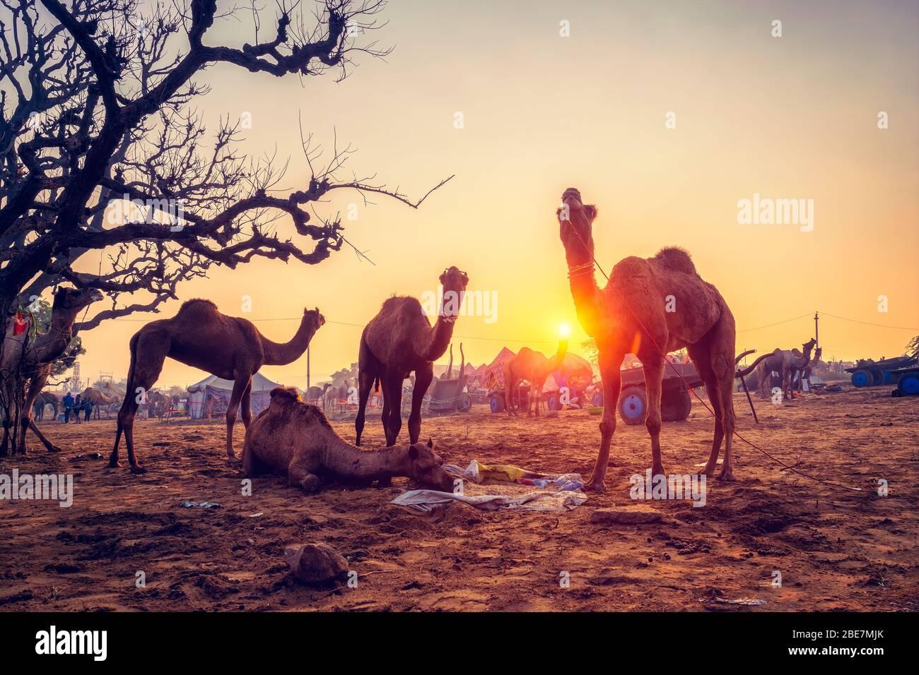 Pushkar Mela feria de camellos festival en el campo comer masticando al atardecer. Pushkar, Rajasthan, India Foto de stock