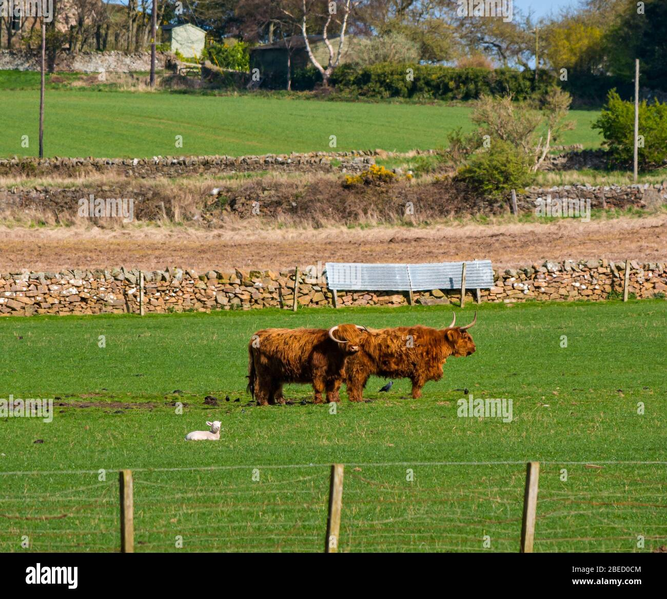 East Lothian, Escocia, Reino Unido. 13 de abril de 2020. Reino Unido Clima: Las vacas de las tierras altas pastan en un campo con un cordero tumbado en el campo de pastoreo empapándose del sol Foto de stock