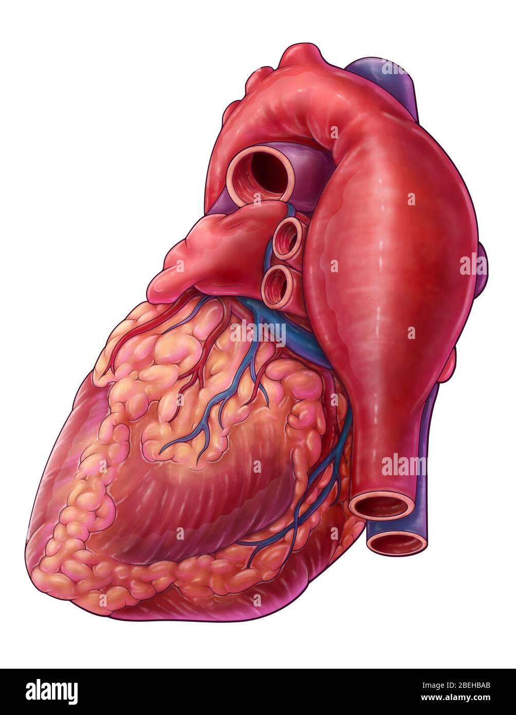 POPUHITS SEMANAL!! - Página 31 Aneurisma-aortico-toracico-ilustracion-2behbab