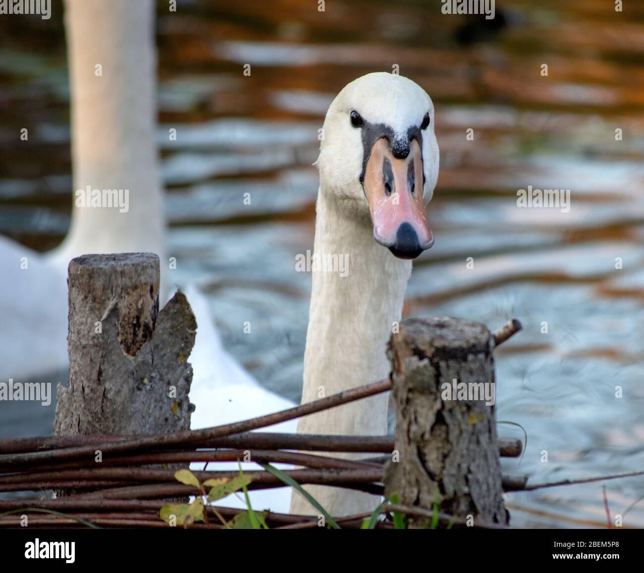 Primer plano de un cisne cabeza mirando sobre algunas ramas, un hermoso cisne nadando en un lago o estanque posando para un retrato, cisnes blancos son increíbles Foto de stock