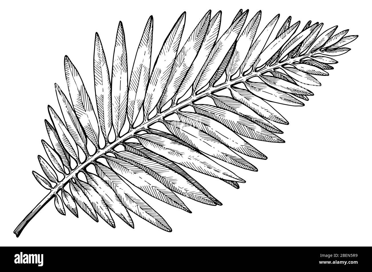 Hojas de palmera tropical dibujadas a mano. Croquis sobre fondo blanco. Decoración exótica de grabado para textiles, diseño de superficies o banner. Gran plantilla para Ilustración del Vector
