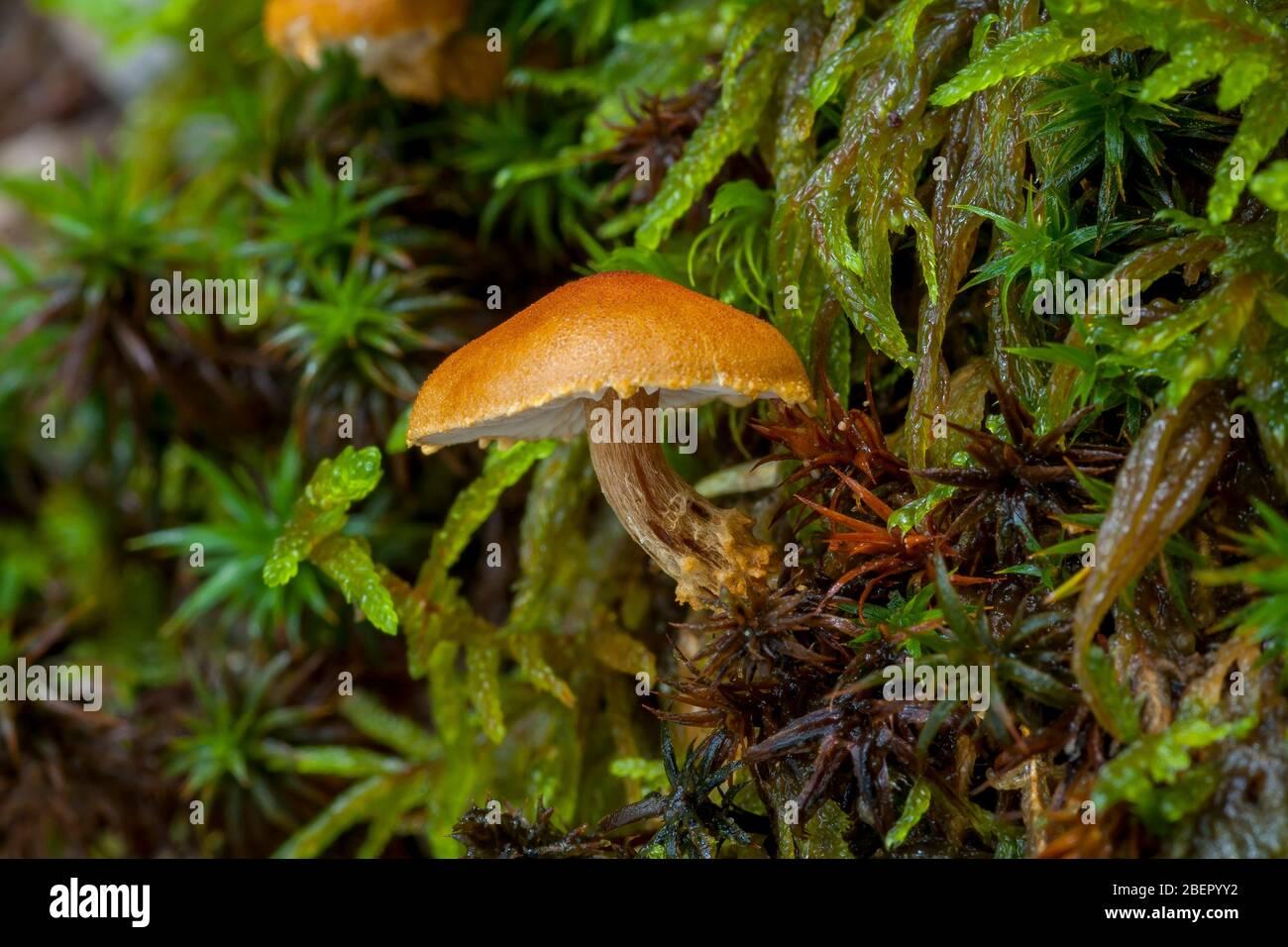 Setas en otoño colores Cystoderma sp Foto de stock