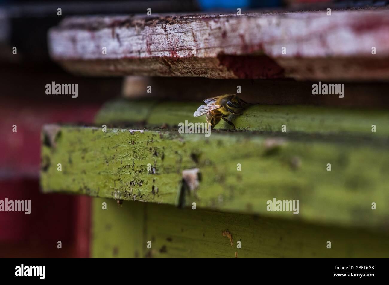 Abeja melífera Carniolan sentada a la entrada de la colmena de abejas Foto de stock