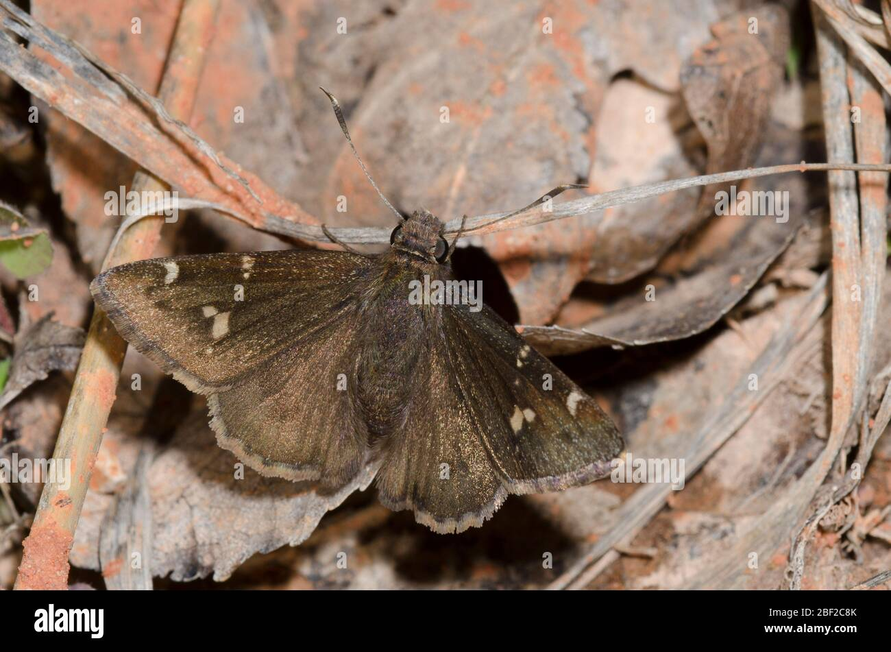 Sur, Thorybes bathyllus Cloudywing Foto de stock