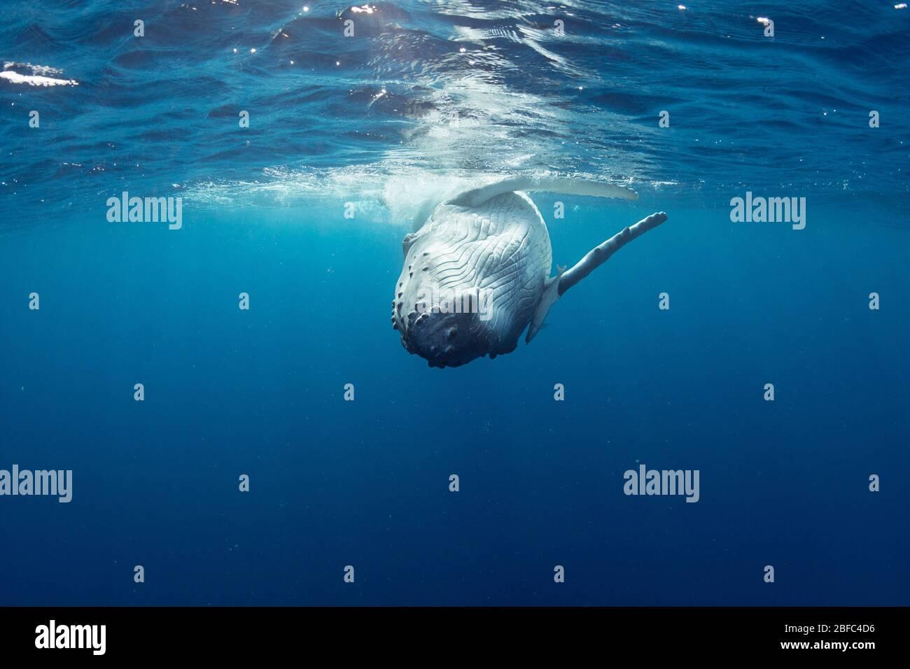 Juguetón becerro de ballena jorobada, Megaptera novaeangliae, rodando en la superficie, con peces remora comensales frente a la aleta pectoral derecha, Vava'u, Tonga Foto de stock