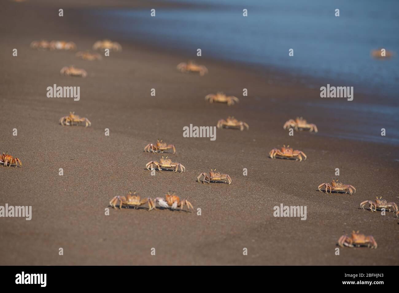 Un montón de langotiines huya en una playa en Moçambique Foto de stock