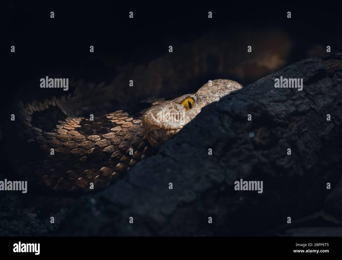 Un Piper de la familia Bothrops de serpientes. Responsable de más muertes en América Central y del Sur que cualquier otra serpiente. Usted quiere evitarlo :) Foto de stock
