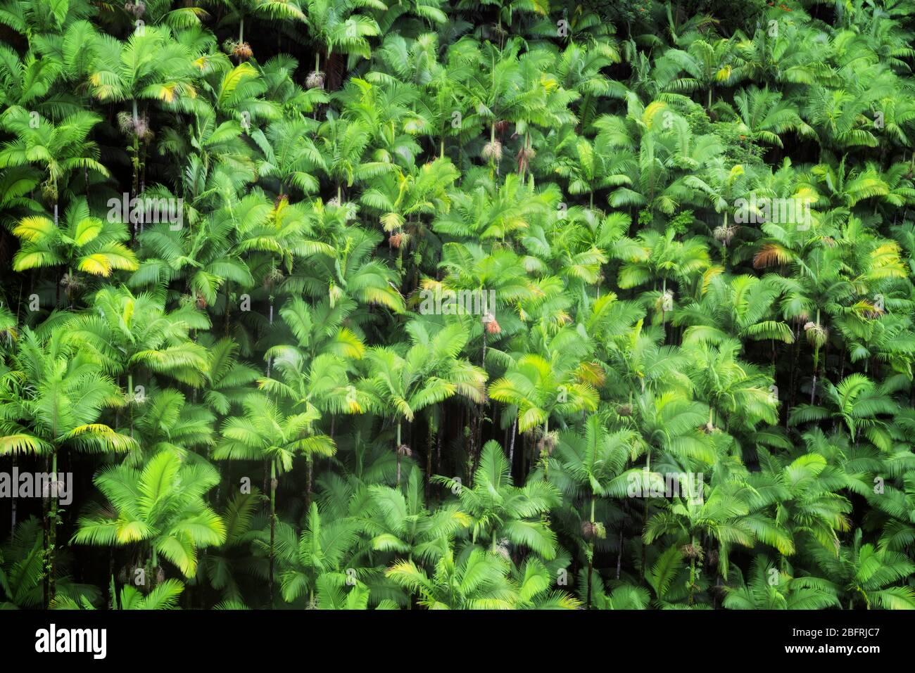 La densa selva tropical de palmeras crece en los muchos barrancos a lo largo de la costa de Hamakua en la Isla Grande de Hawai. Foto de stock