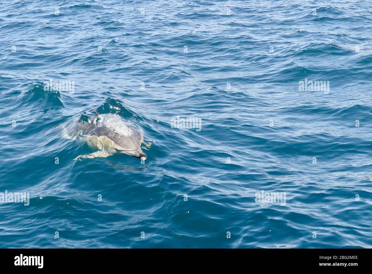 Delfinus delphis (Delphinus delphis) frente a la Bahía de las Islas, Nueva Zelanda Foto de stock