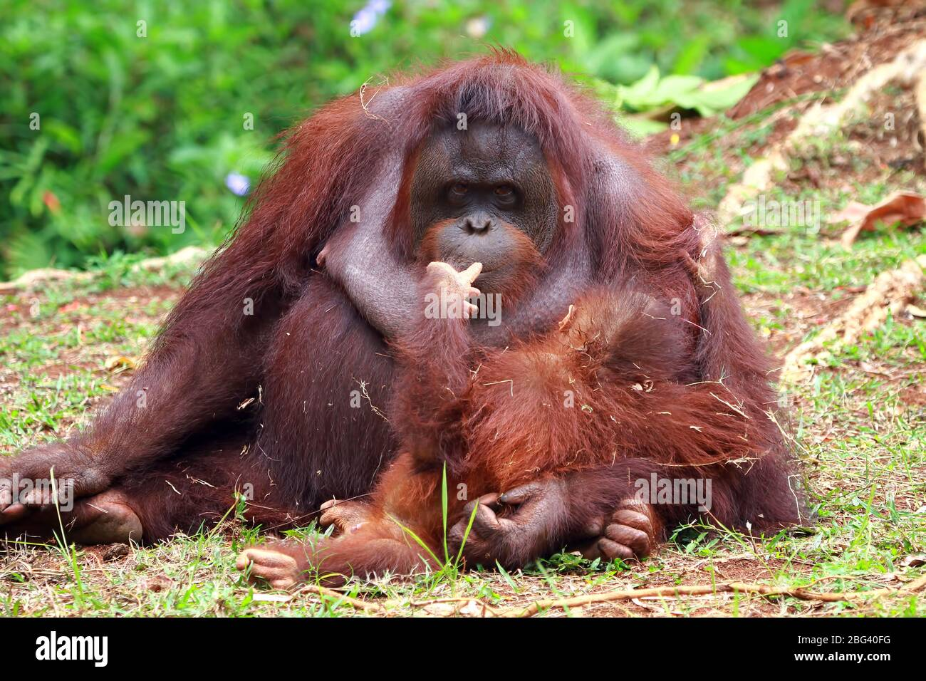 Orangután hembra con su bebé, Borneo, Indonesia Foto de stock