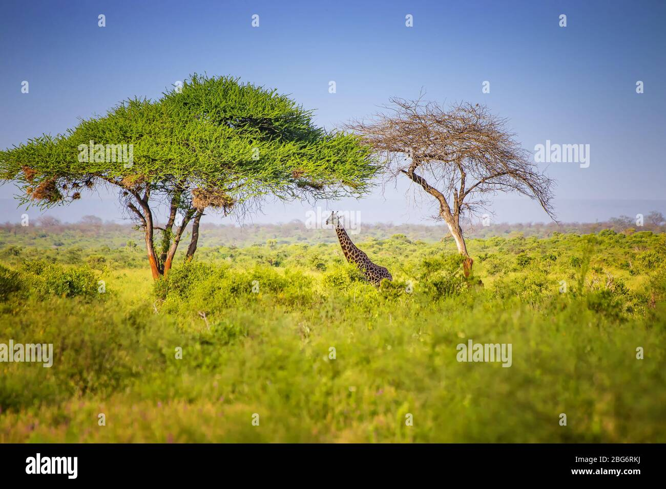 Jirafa de pie en hierba alta en el Parque Nacional Tsavo East, Kenia. Escondiéndose a la sombra bajo los árboles altos. Es una foto de la vida silvestre. Foto de stock