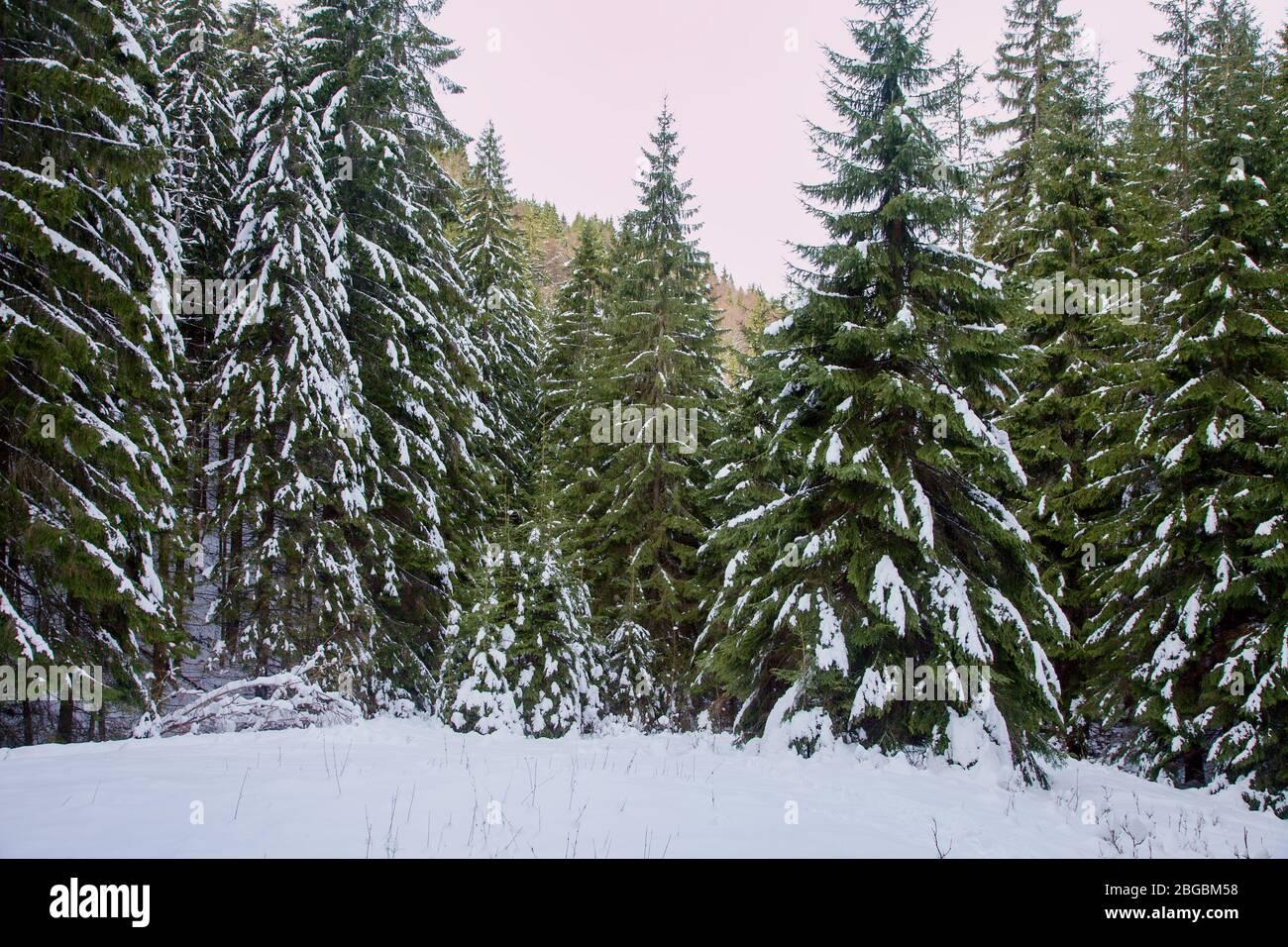 Bosque de piceas cubierto de nieve durante el invierno bajo el pico Salatín, Eslovaquia Foto de stock