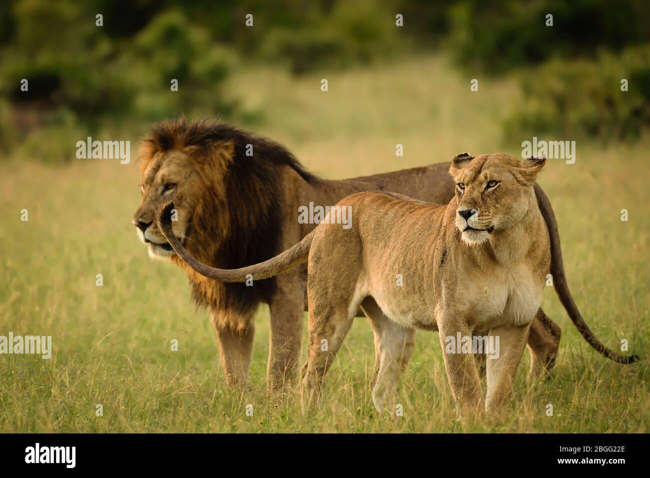 Pareja de leones en Maasai Mara, Kenia Foto de stock