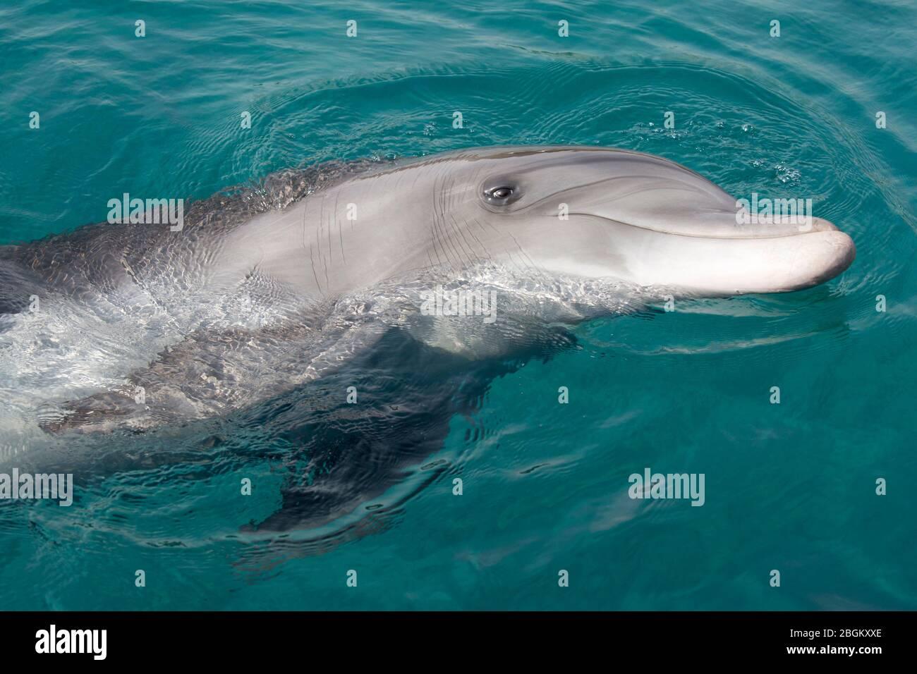 Delfín mular nadando en su lado en el Mar Rojo (Tursiops truncatus) Foto de stock