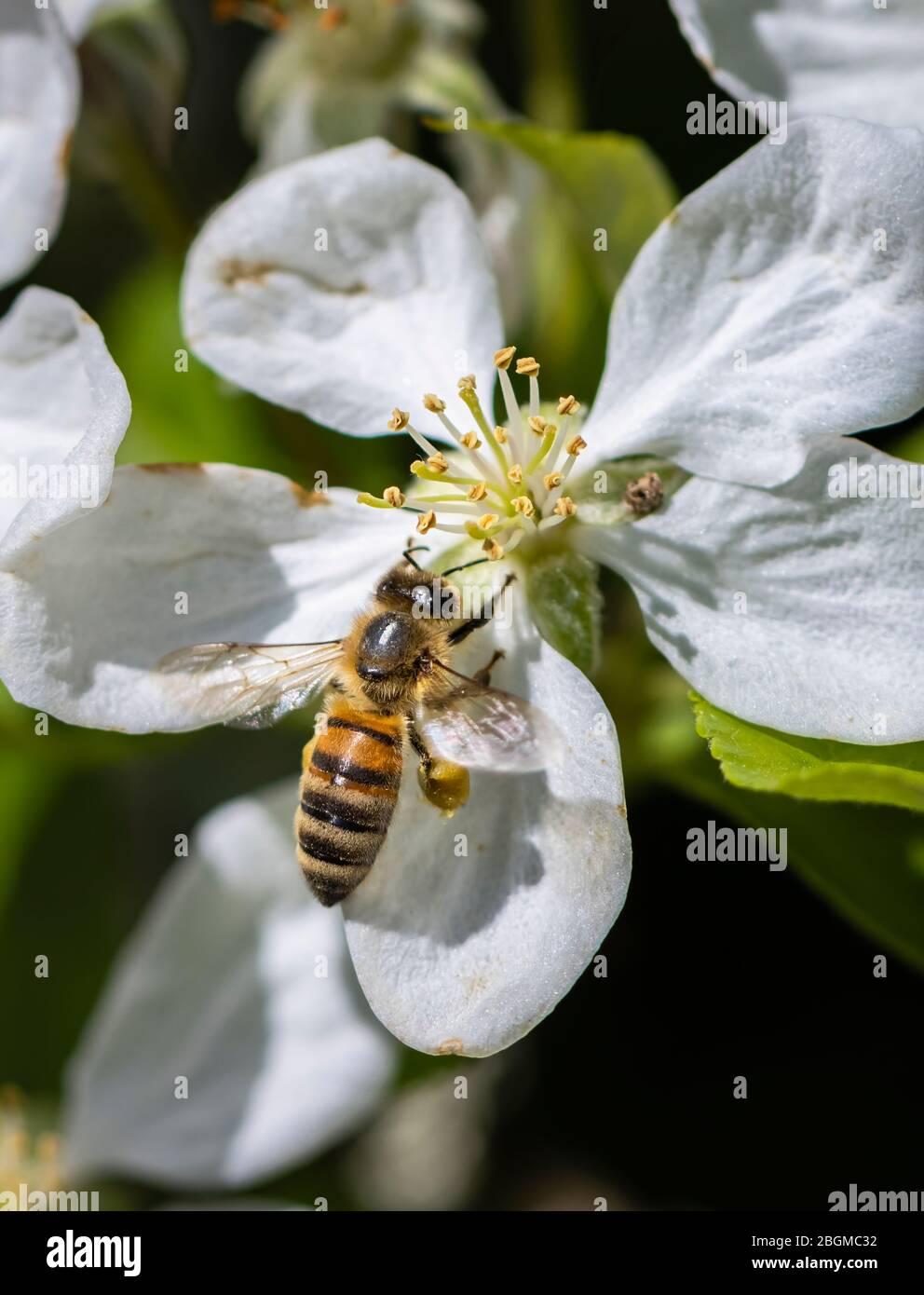 Minibeast: Una abeja de miel occidental, Apis mellifera, recoge néctar y polen de los estambres de un manzano blanco florece en primavera, Surrey Foto de stock