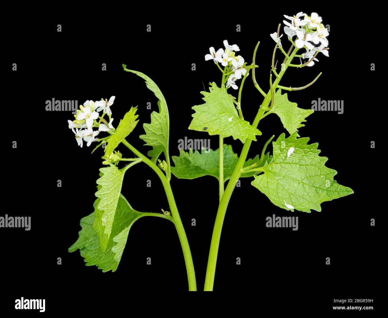Flor silvestre del Reino Unido, Jack por la mostaza de la cobertura o el ajo, Alliaria petiolata, floreciendo sobre un fondo negro Foto de stock