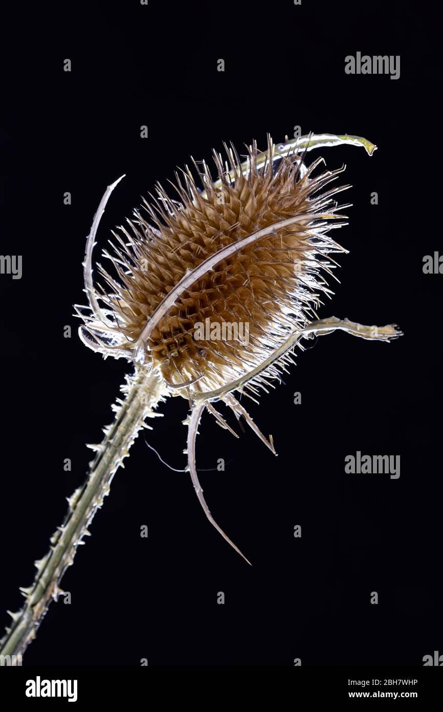 Cabezal de semillas de cucharadita (Dipsacus) Foto de stock