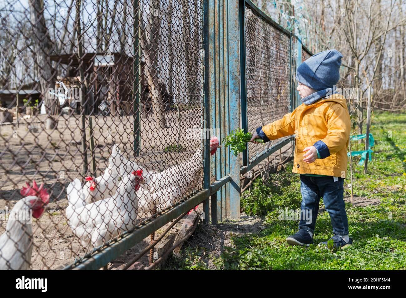 El niño alimenta a los pollos a través de la rallera en el jardín de primavera Foto de stock