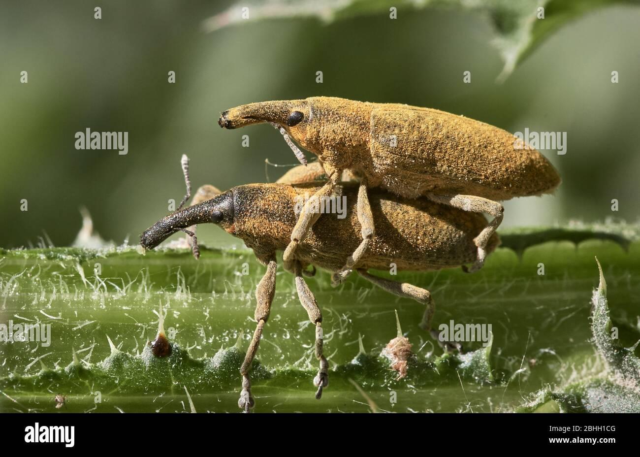 Dos largos escarabajos de hocico que se apareaban en el tallo verde en la naturaleza. Foto macro de Curculionoidea amarilla Foto de stock