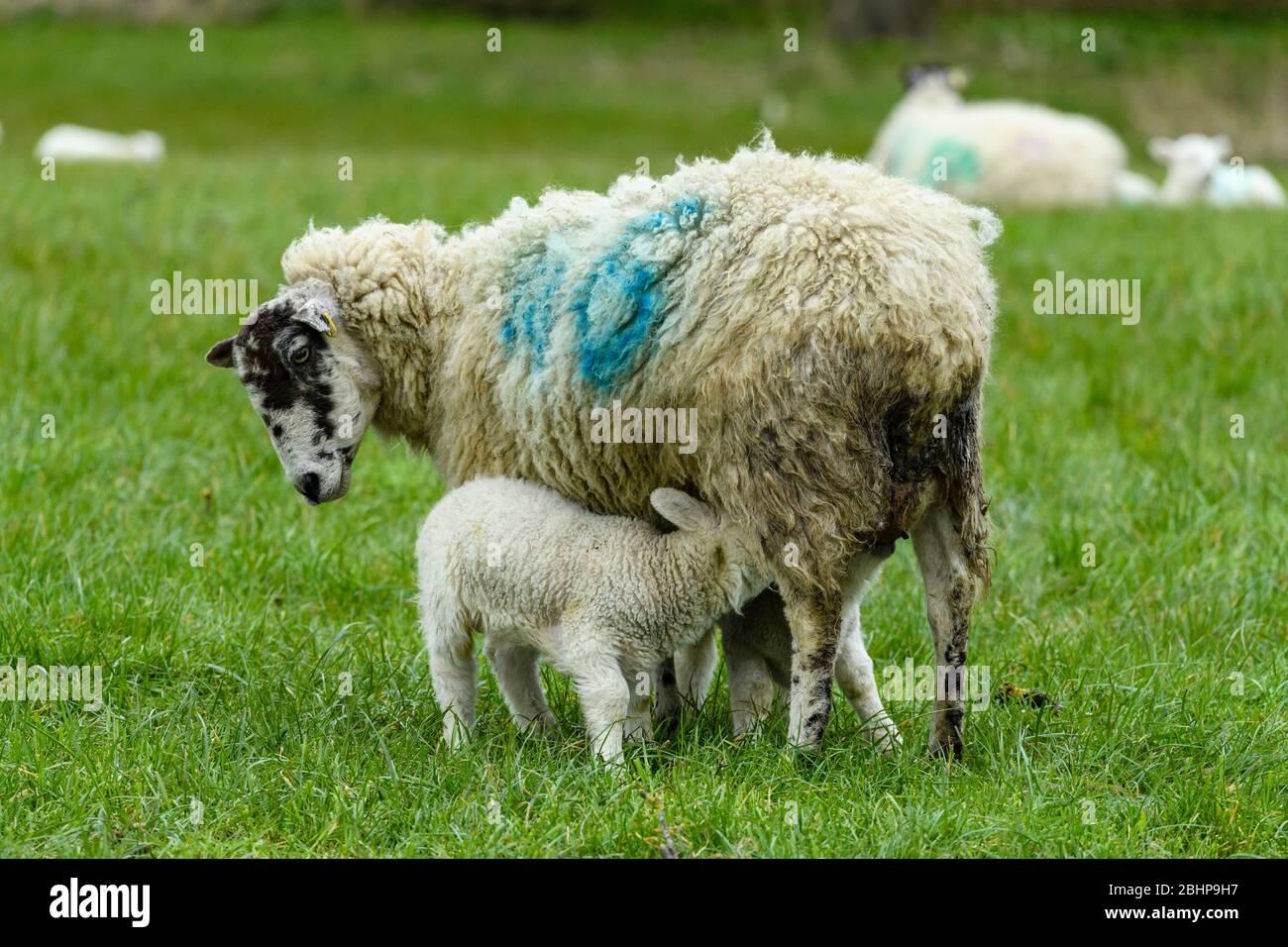 1 oveja de mula y 2 corderos pequeños de cerca, de pie en la granja de césped en la primavera (la alimentación de la descendencia hambrienta y la madre mirando hacia abajo) - Inglaterra, GB, Reino Unido. Foto de stock