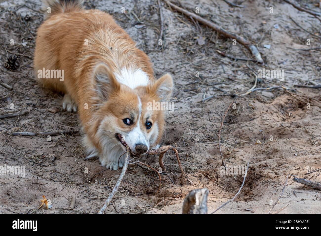 el perro de pembroke corgi galés juega con las raíces de los árboles en un soleado día de primavera Foto de stock
