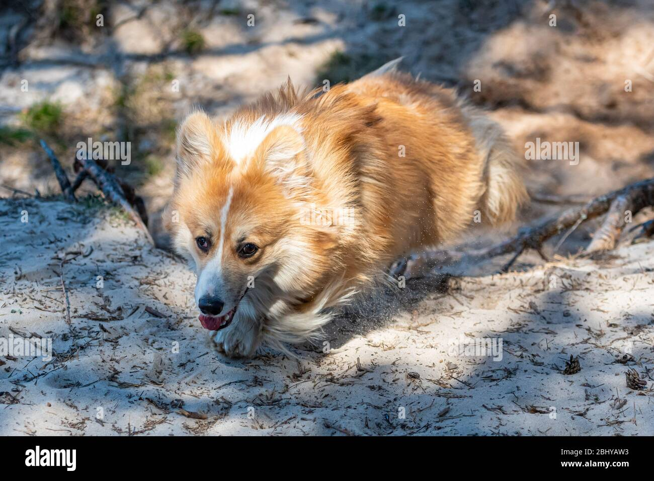 el perro de corgi pembroke de gales recorre senderos de arena en un soleado día de primavera Foto de stock