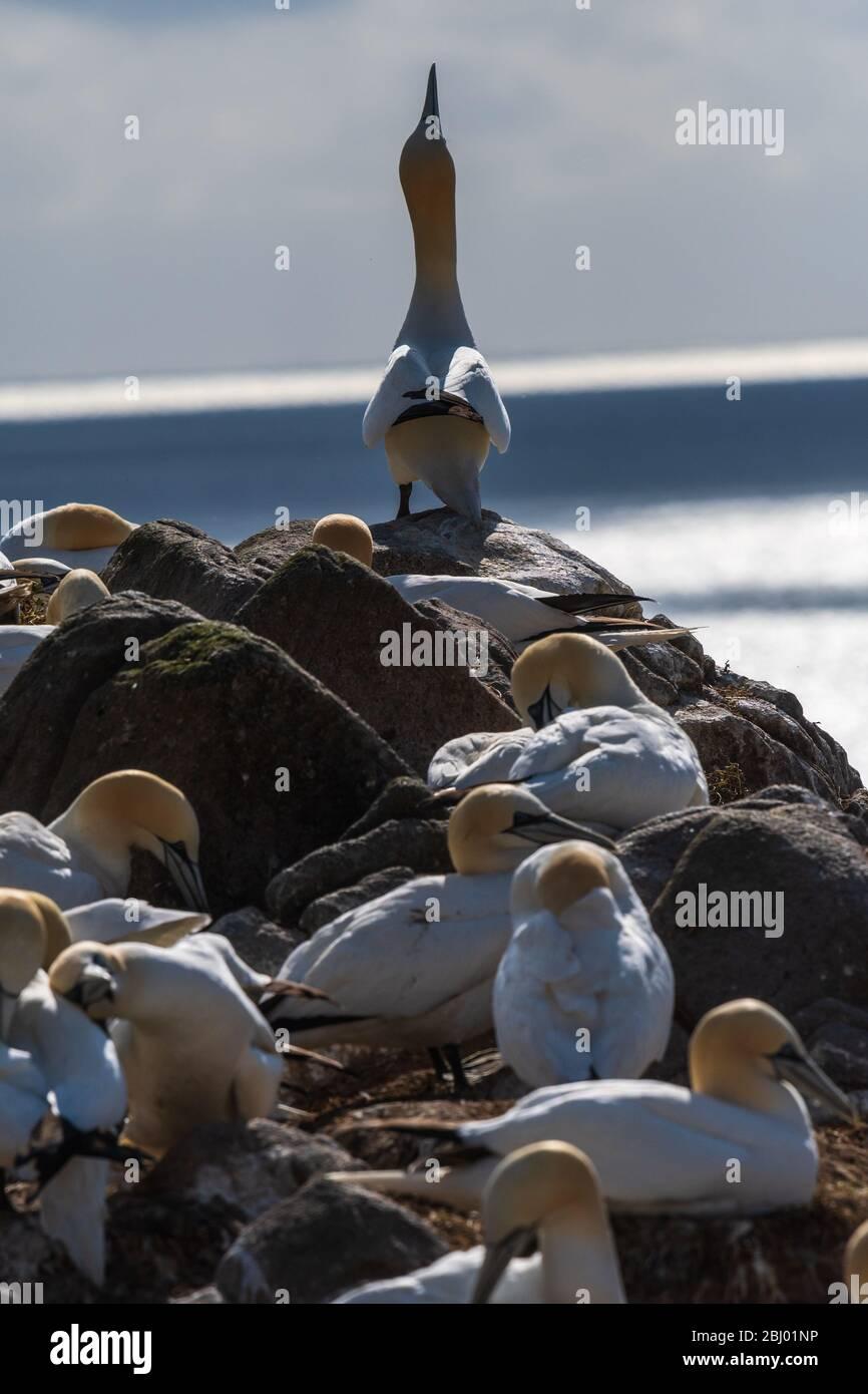 Un gannet del norte ' que señala el cielo ' Foto de stock