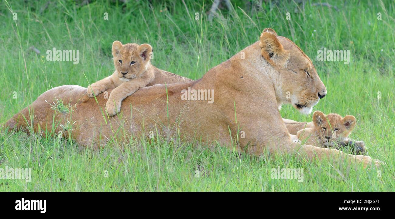 cachorro de león descansando en la espalda de la mamá, otro cachorro se cuddled entre sus pies delanteros. Masai Mara, Kenia Foto de stock