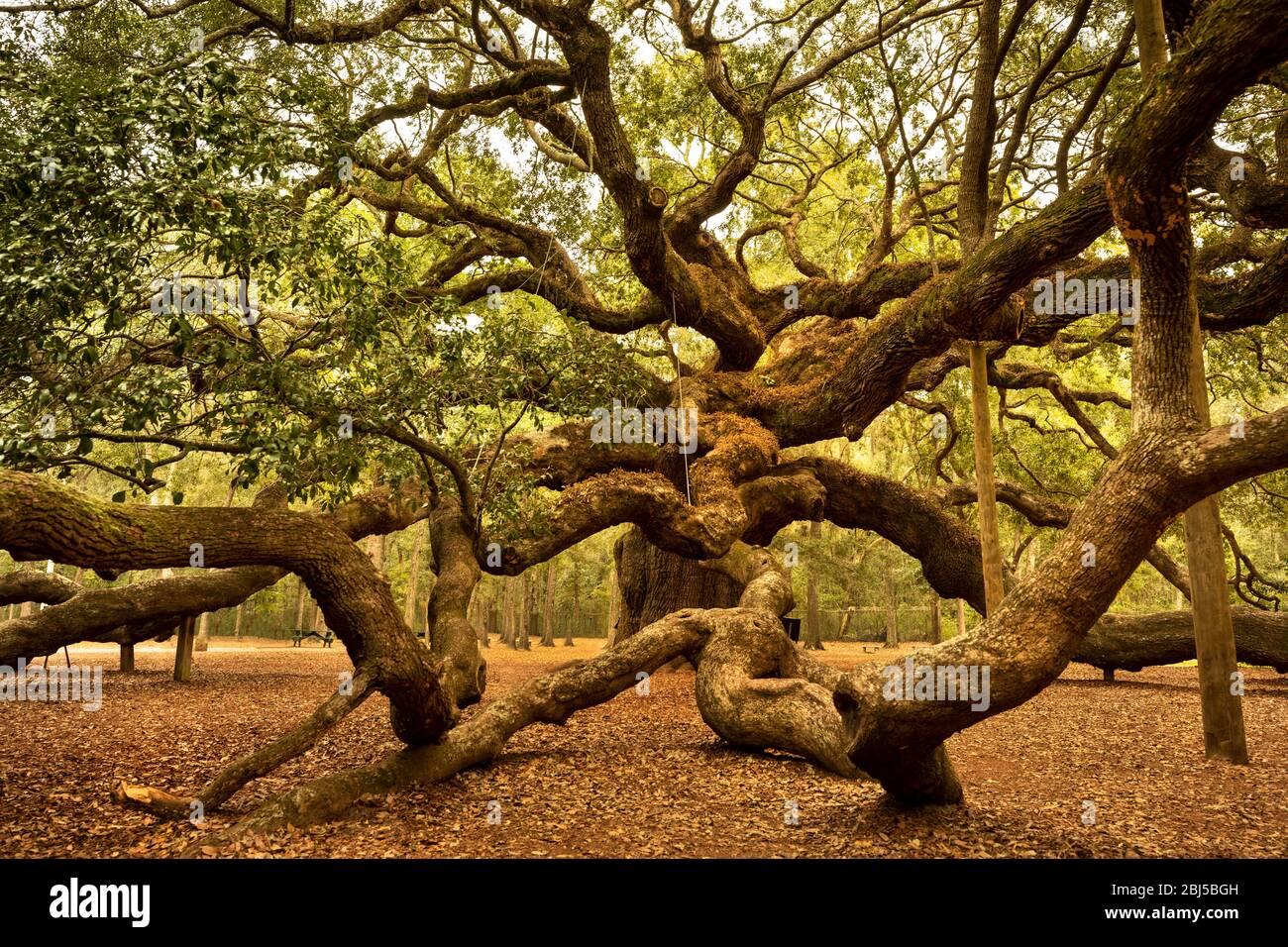 Charleston, Carolina del Sur, EE.UU. – 23 de octubre de 2018: Angel Oak es un roble vivo del sur situado en Angel Oak Park en la Isla Johns, cerca de Charleston, Sur Foto de stock