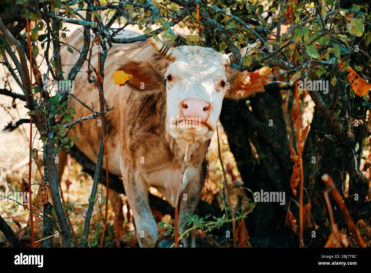Vaca con etiquetas de oreja pegadas en los árboles. Foto de stock