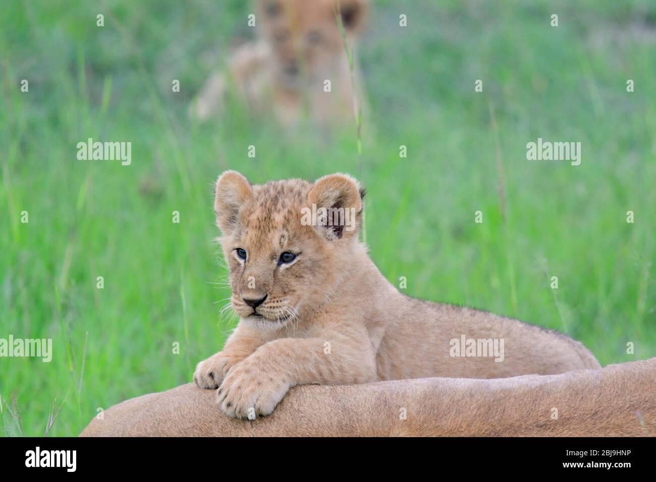 Reserva Masai Mara, Kenia Foto de stock