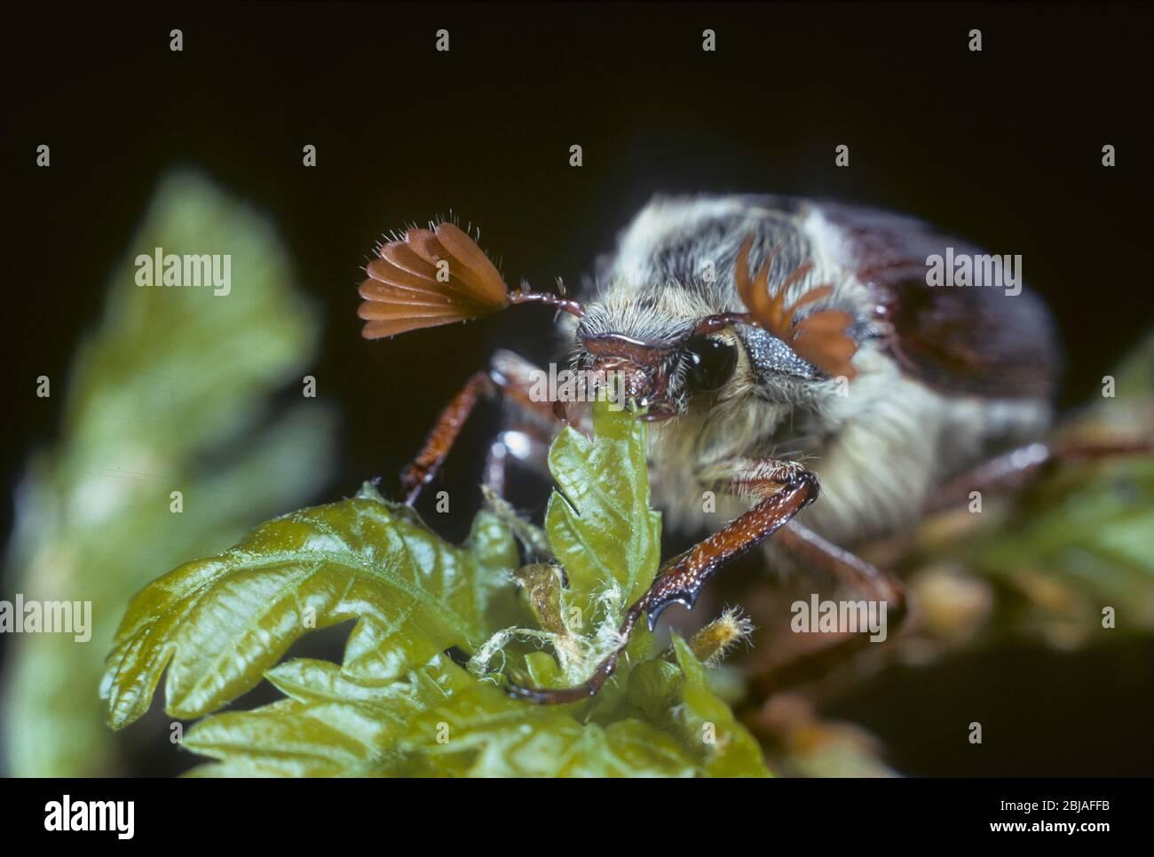 Cockchafer común, maybug, Maybeetle (Melolontha melolontha), alimentándose en roble, Alemania Foto de stock