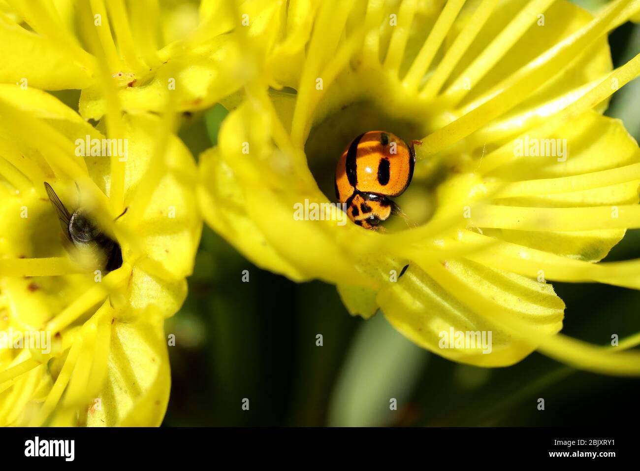Naturaleza en Macro: Una mariquita nibble en un néctar de esta encantadora flor amarilla brillante fuera en el jardín en una cálida mañana de primavera. Foto de stock