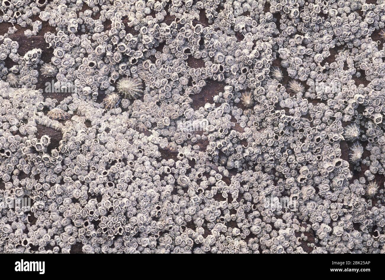 Barnacles de Acorn, Balanoides de Semibalanus, sobre rocas en la playa, Reino Unido Foto de stock