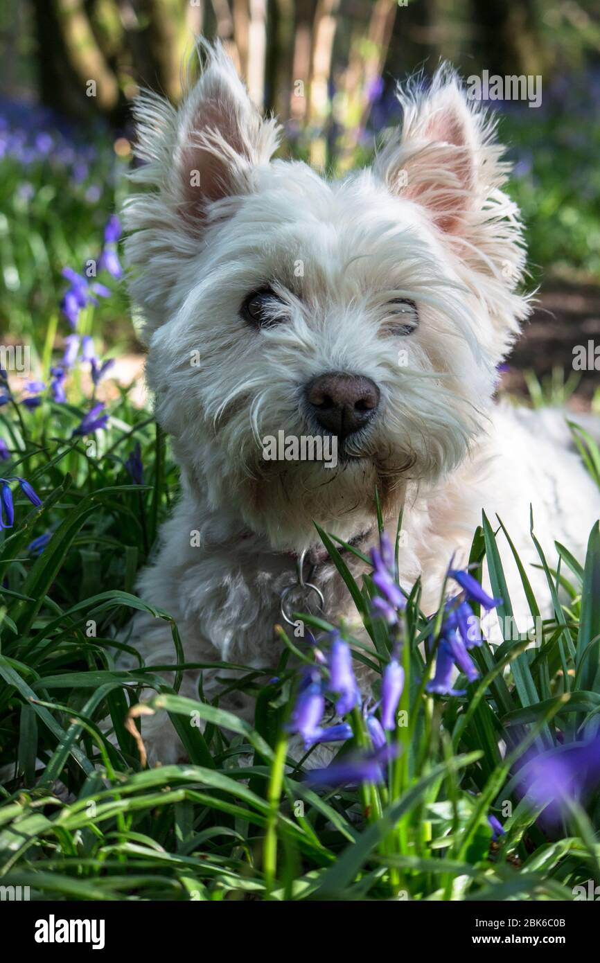 West Highland Terrier Dog / Westie Dog in a bluebell Wood in East Sussex, South East England, UK Foto de stock