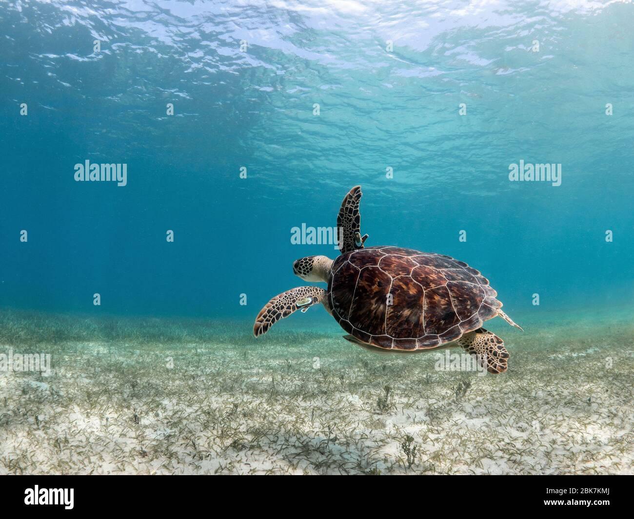 Tortuga verde nadando sobre la arena. Foto de stock
