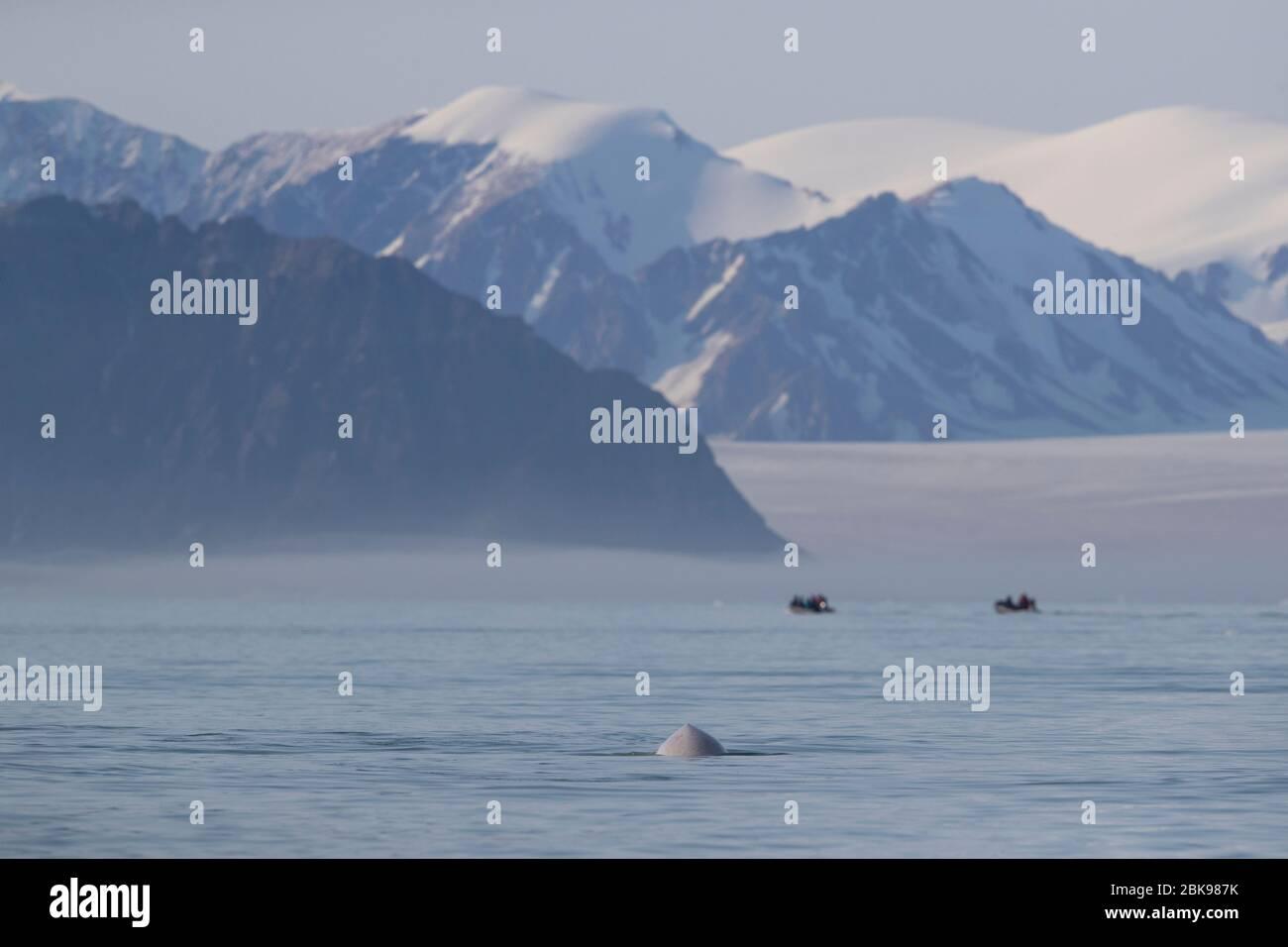 Ballena Beluga y zodiaco Foto de stock
