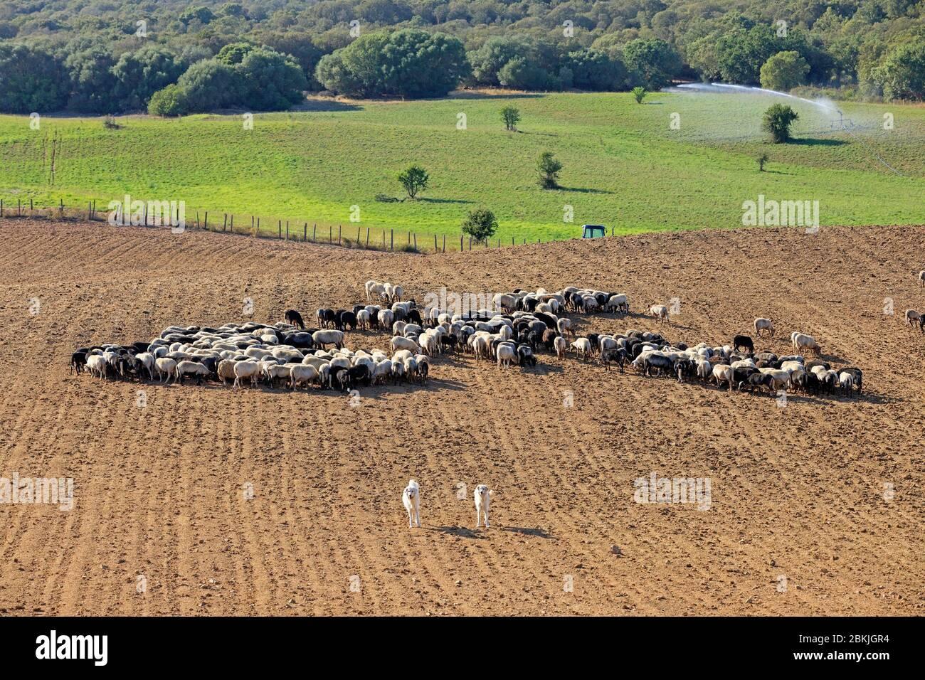 Francia, Corse du Sud, Domaine de Murtoli, meseta de Cauria, ovejas (mención obligatoria Domaine de Murtoli) Foto de stock