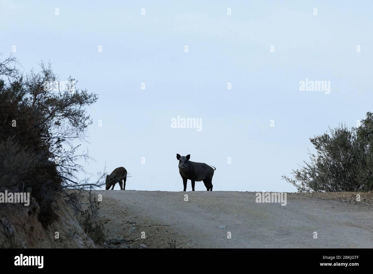 Francia, Corse du Sud, Domaine de Murtoli, jabalíes (mención obligatoria Domaine de Murtoli) Foto de stock