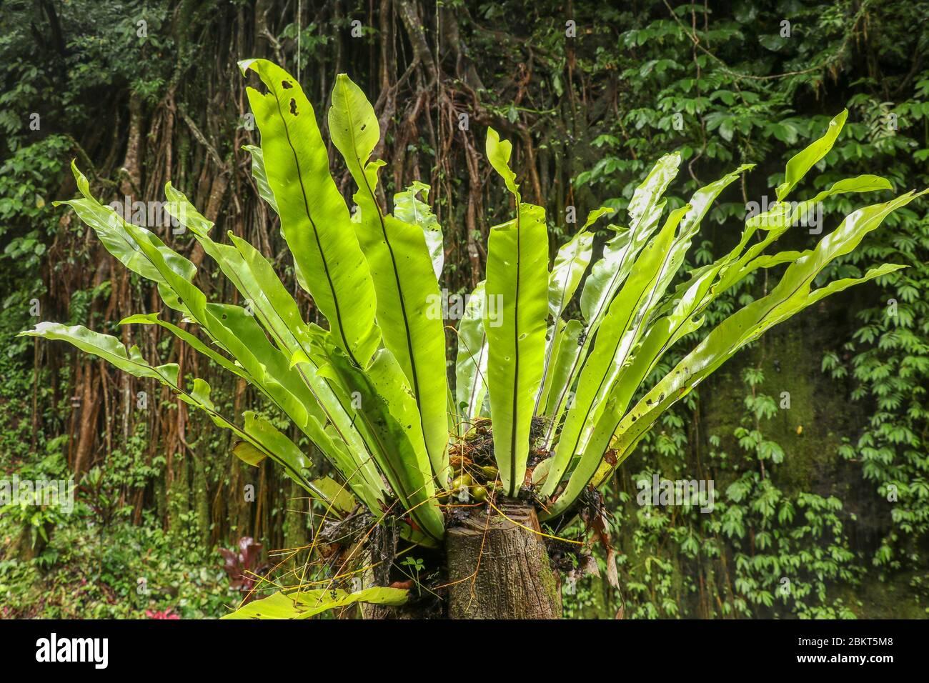 Asplenium nidus epiphyte sale de cerca. Hojas verdes de foco suave de nido de pájaro de Fern en la selva tropical, decoración exterior. Planta verde Foto de stock