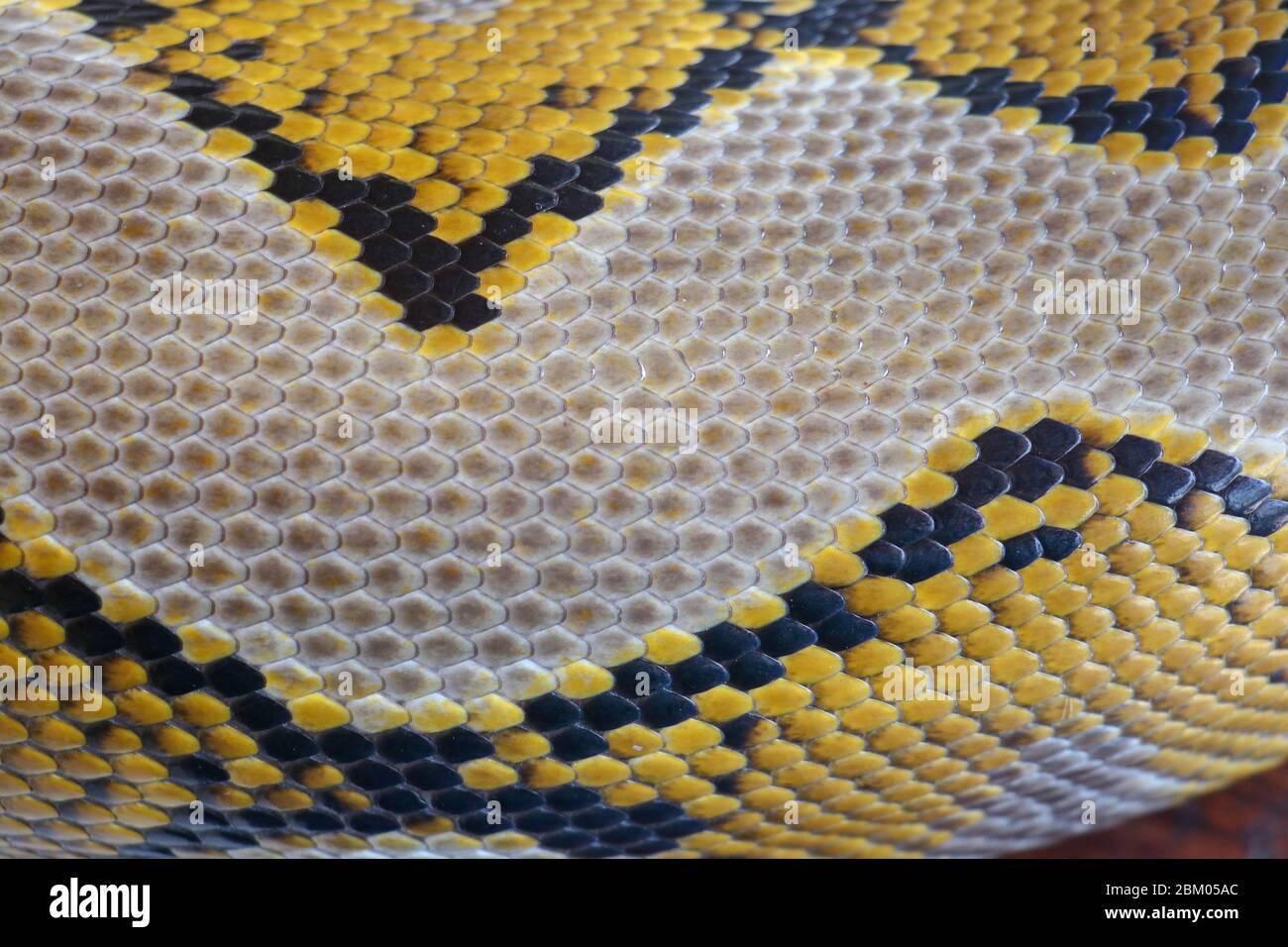 Primer plano de la textura de la piel de la serpiente uso para el fondo. La pitón reticulada es una serpiente no venenosa nativa del sur y sudeste de Asia. Macro foto python sna Foto de stock