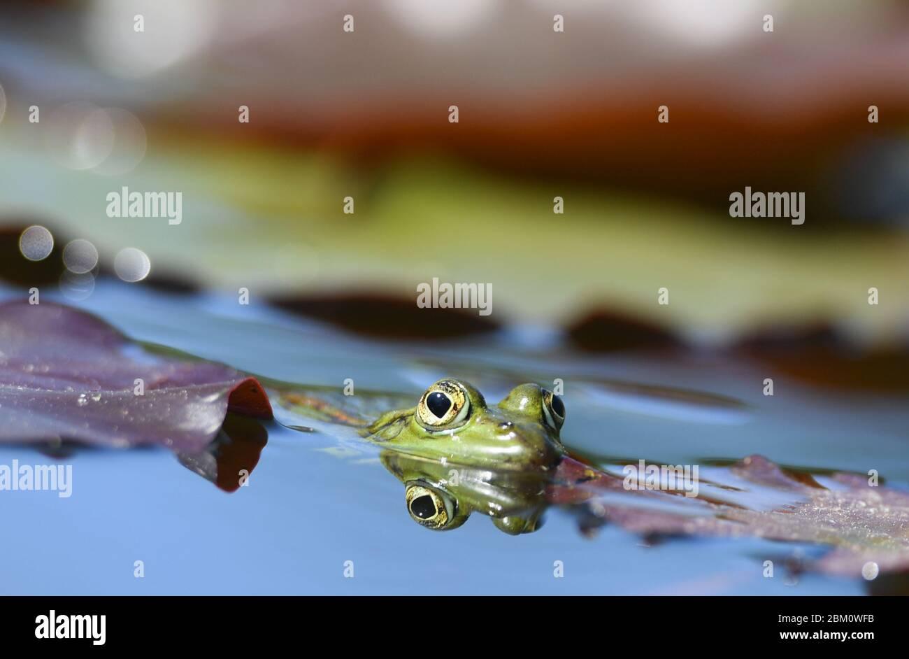06 de mayo de 2020, Hessen, Frankfurt/Main: Una rana acecha en el estanque de nenúfares del Palmengarten de Frankfurt. Tras un cierre de poco menos de dos meses, el Palmengarten prevé reabrir su puerta el 11 de mayo de 2020, aunque según la ciudad habrá algunas especificaciones. Foto: Arne Dedert/dpa Foto de stock