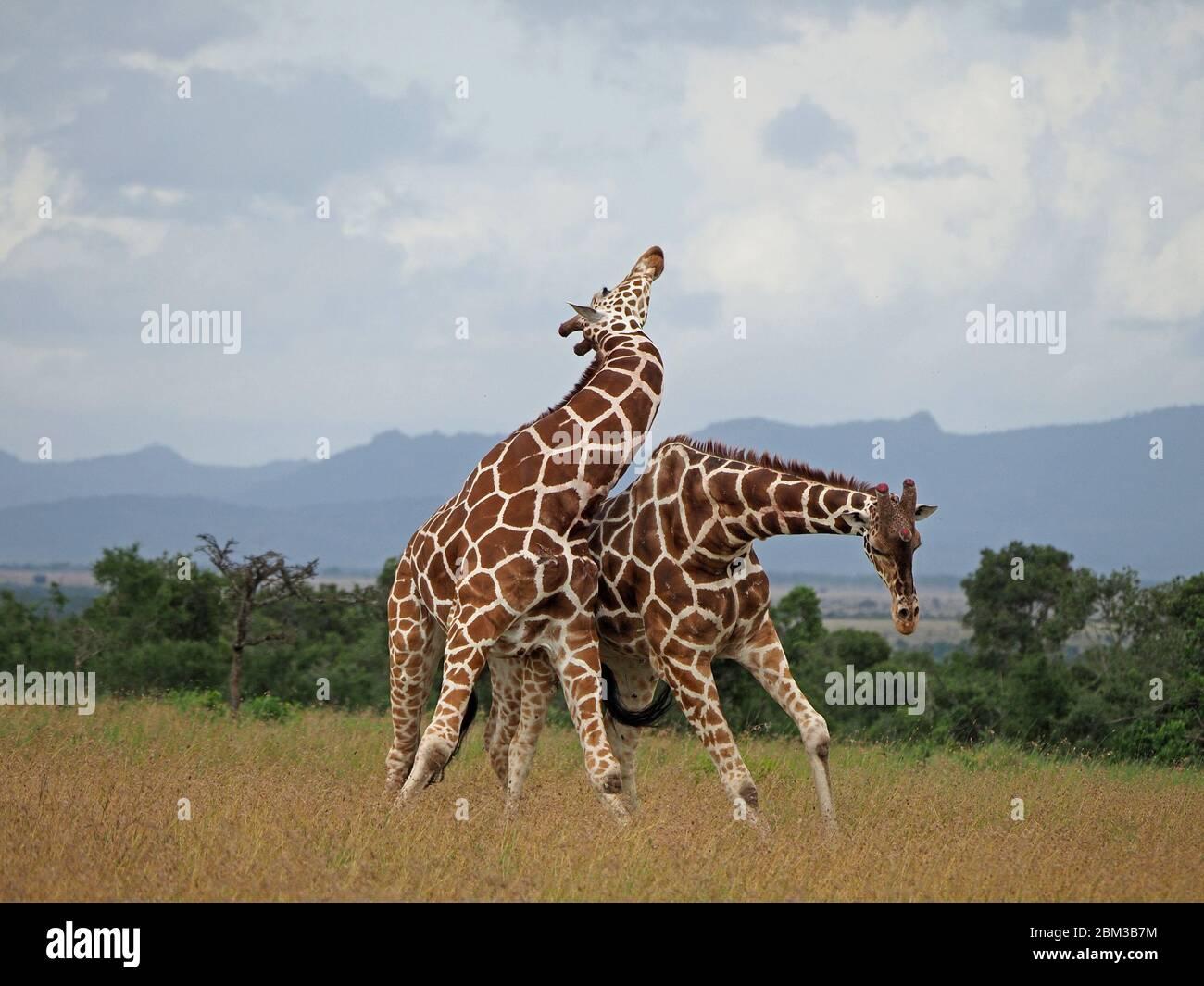 Dos jirafas (Giraffa camelopardis reticulata), de edad, luchan por el derecho a aparearse con la mujer -ol Pejeta Conservancy,Laikipia,Kenya, África Foto de stock