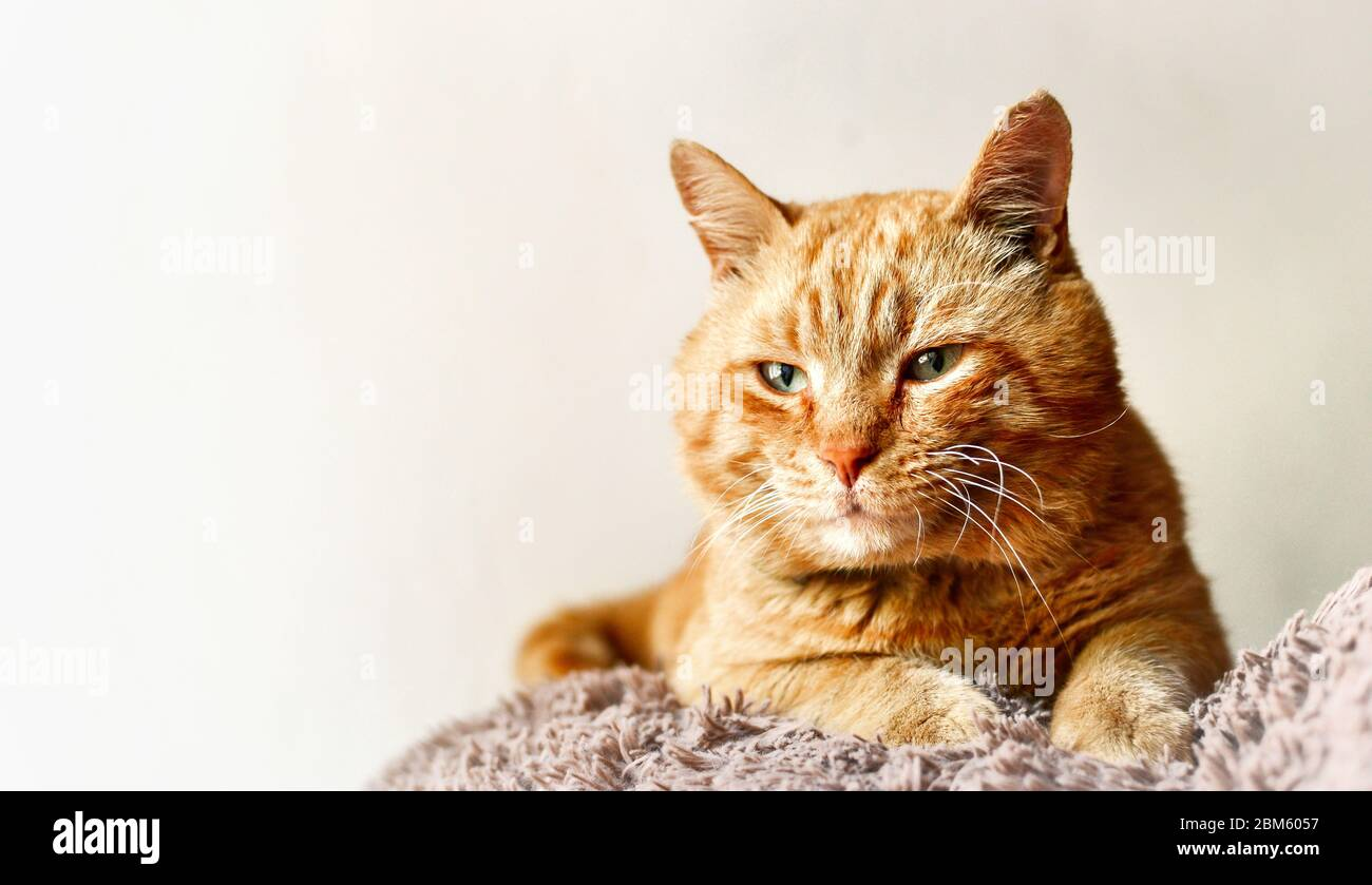 Hermoso gato de jengibre. Gato sobre un fondo blanco aislado. Gato rojo se encuentra en un juguete suave. Espacio libre para texto Foto de stock