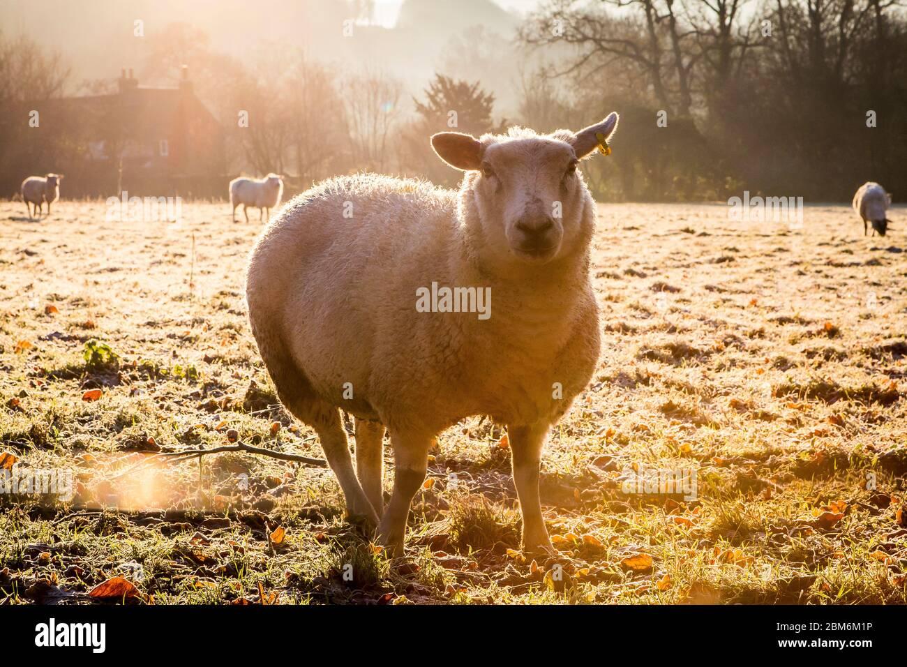 Ovejas blancas en un campo en invierno en Kent Foto de stock