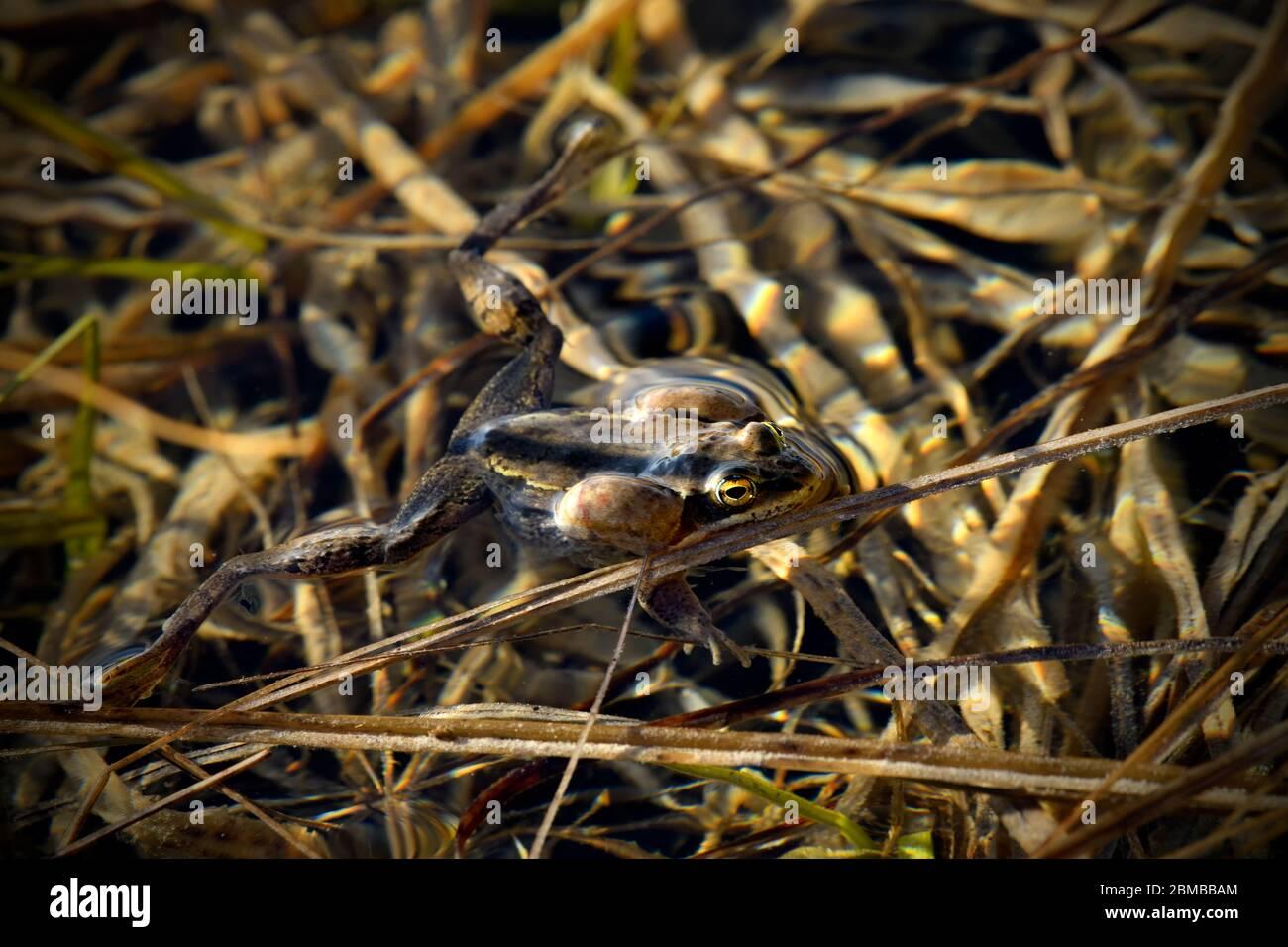 Una rana de madera 'Rana sylvatica'; flotando en aguas poco profundas en su hábitat acuoso durante la temporada de apareamiento de primavera siendo vocal para atraer a un compañero en el campo Foto de stock
