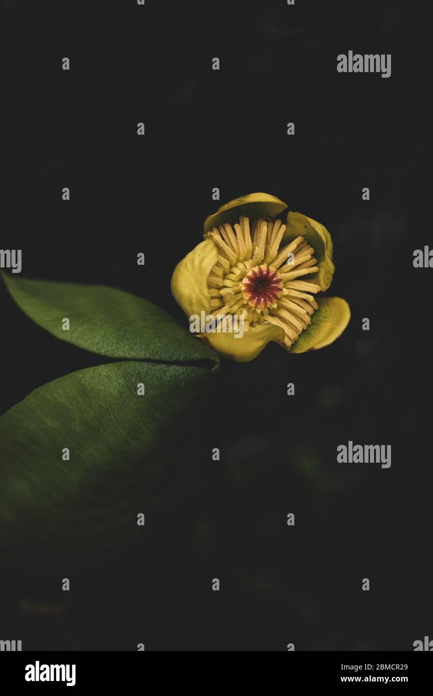 Hojas verdes y flores amarillas flotando en agua Foto de stock