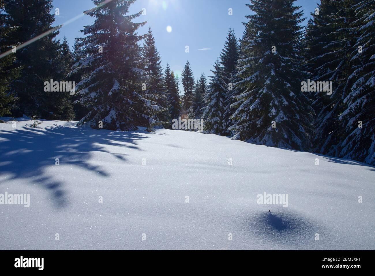 Bosque de piceas cubierto de nieve blanca durante la temporada de invierno, Eslovaquia Foto de stock