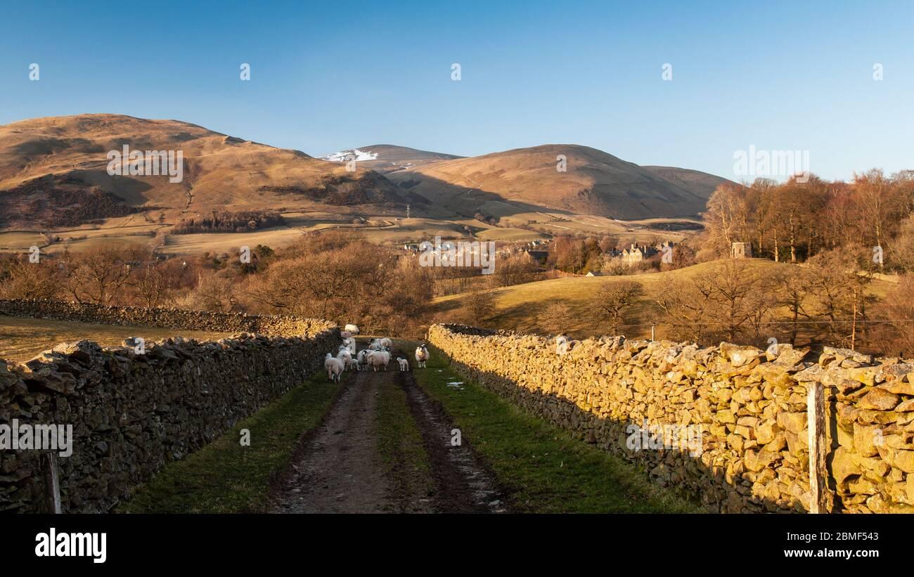 Pastan ovejas en una pista de granja sobre Sedbergh en Howgill Fells del Parque Nacional Yorkshire Dales. Foto de stock